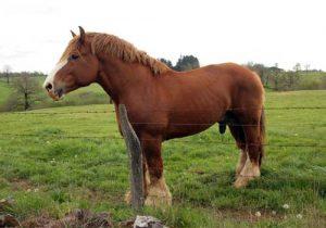 cheval-breton-race