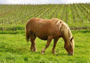 cheval-comtois