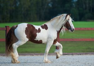 cheval-irish-cob