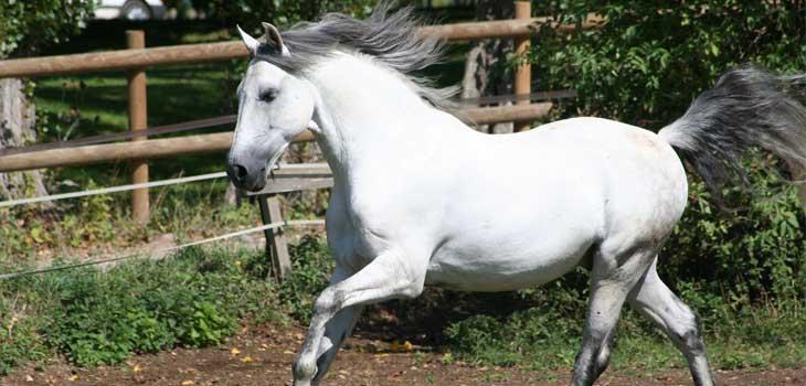 cheval-lusitanien