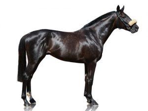 cheval Pur-Sang anglais