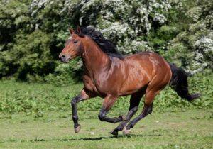 cheval-quarter-horse