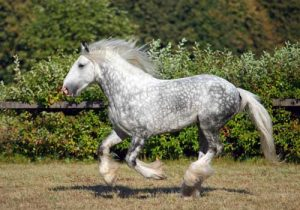 cheval-shire-gris
