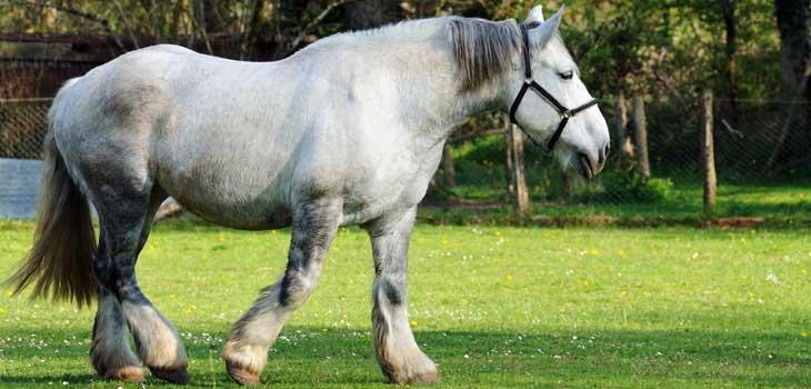 comtois-cheval