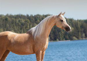 cheval Demi-Sang Arabe