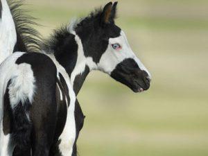 cheval Nokota