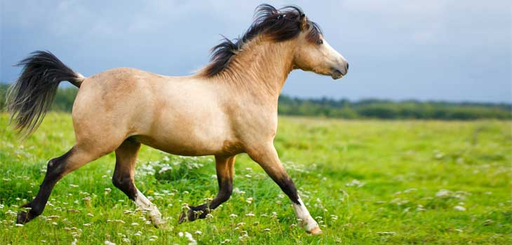 poney-welsh