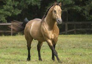 quarter-horse-cheval