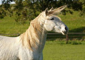 cheval Cartujano