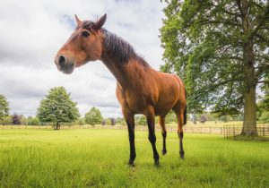 cheval Cleveland Bay