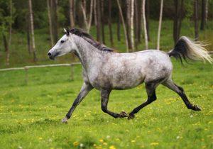 cheval Shagya