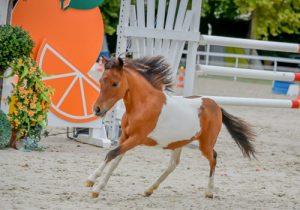cheval Cheval miniature français