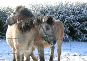 cheval Poney Highland