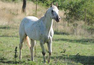 cheval Poney des Amériques