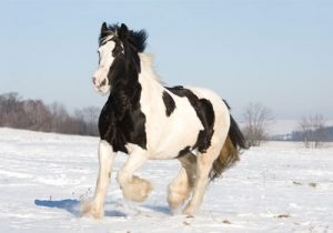 cheval Gipsy Cob